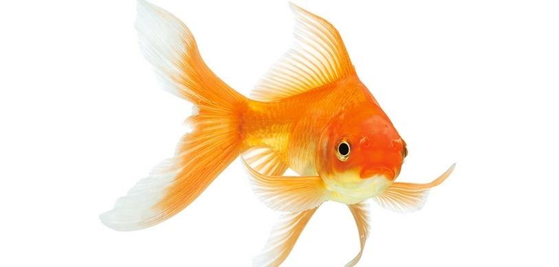 Tout ce qu 39 il faut savoir sur un poisson rouge for Poisson rouge achat