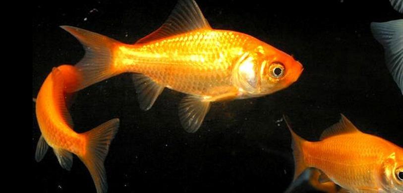 Top 5 des poissons d 39 eau chaude avoir for Poisson eau froide